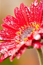 Preview iPhone wallpaper Red gerbera flowers after rain