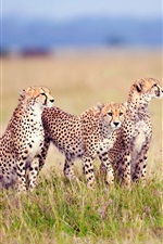 Preview iPhone wallpaper Savanna family of cheetahs