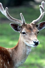 Preview iPhone wallpaper Sika deer