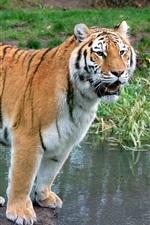 Tiger pedra em pé no riacho