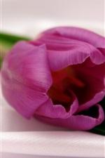 A purple tulip