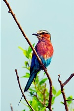 Preview iPhone wallpaper Blue and red colors of bird