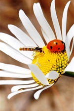 Preview iPhone wallpaper Daisy bee ladybug