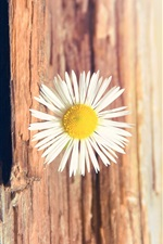 Preview iPhone wallpaper Daisy tree texture