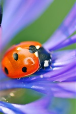 Preview iPhone wallpaper Ladybug on purple petals macro