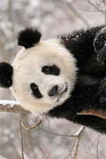 Preview iPhone wallpaper Panda bear winter snow