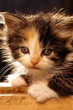 Preview iPhone wallpaper American bobtail kitten