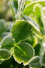 Preview iPhone wallpaper Frost green clover