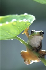 Preview iPhone wallpaper Green leaf frog