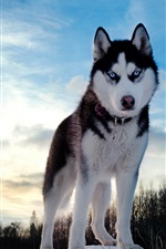 Preview iPhone wallpaper Husky Dog Winter Sky