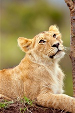 Preview iPhone wallpaper Lion lying in the tree side
