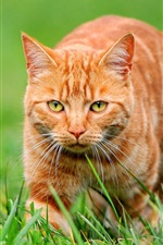 Preview iPhone wallpaper Orange cat on green grass