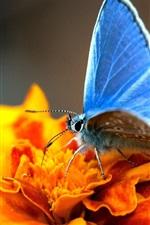 iPhone обои Оранжевые цветы с голубой бабочки