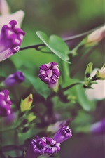 Preview iPhone wallpaper Purple of the morning glory