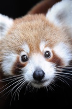 Preview iPhone wallpaper Red panda