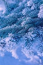 Spruce twig snow frost