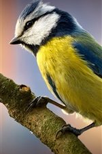 Preview iPhone wallpaper Titmouse bird close-up