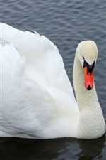 Preview iPhone wallpaper White Swan close-up
