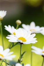 Preview iPhone wallpaper White daisies macro