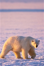 Preview iPhone wallpaper Arctic animals, polar bears and arctic foxes