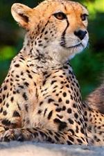 Preview iPhone wallpaper Big cats: Cheetahs