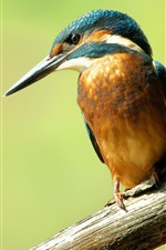 Preview iPhone wallpaper Common kingfisher close-up