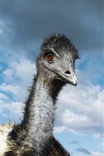 curioso avestruz