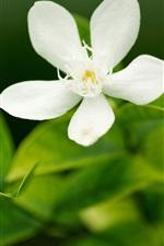 Fünf weiße Blume Blütenblatt Makro