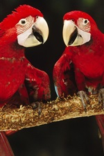 Preview iPhone wallpaper Four red parrot