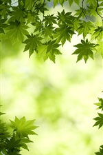 Preview iPhone wallpaper Fresh maple leaf background