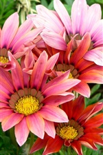 Preview iPhone wallpaper Gazania flowers