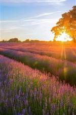 Preview iPhone wallpaper Lavender Garden of the sunset