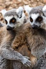 Preview iPhone wallpaper Lemurs