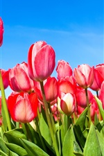Preview iPhone wallpaper Red tulips under the blue sky
