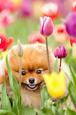Preview iPhone wallpaper The dog in the tulip garden