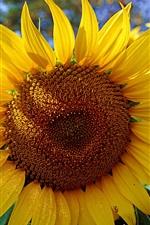 Preview iPhone wallpaper The midsummer golden sunflower