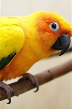 Preview iPhone wallpaper Yellow-orange feathers parrot