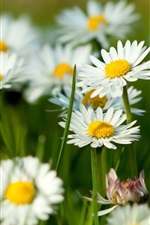Preview iPhone wallpaper Camomile Flowers
