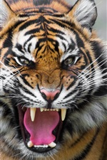Preview iPhone wallpaper Ferocious tiger