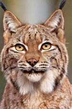 Preview iPhone wallpaper Lynx close-up