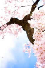 Preview iPhone wallpaper Pink cherry tree