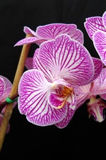 Preview iPhone wallpaper Purple Phalaenopsis close photography
