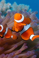 Preview iPhone wallpaper Underwater world, beautiful clown fish