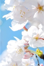 Preview iPhone wallpaper White cherry blossoms in spring