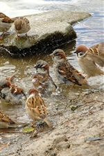 Preview iPhone wallpaper A group of sparrows preen their feathers at the waterside