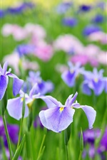 Preview iPhone wallpaper Beautiful iris flowers in summer