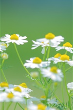 Preview iPhone wallpaper Daisies white flowers, nature summer, green background
