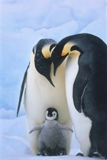 Preview iPhone wallpaper Family members of the penguins