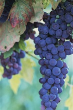 Preview iPhone wallpaper Fruitful grapes