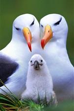 família Gull